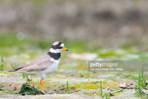 ringed plover - royal tern stock photos and pictures