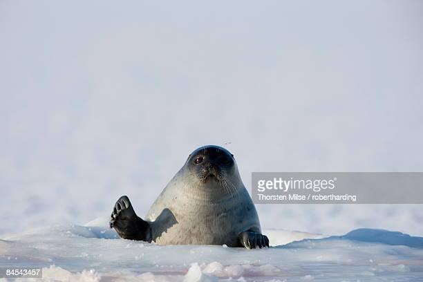 Ringed seal (Phoca hispida), Billefjord, Svalbard, Spitzbergen, Arctic, Norway, Scandinavia, Europe