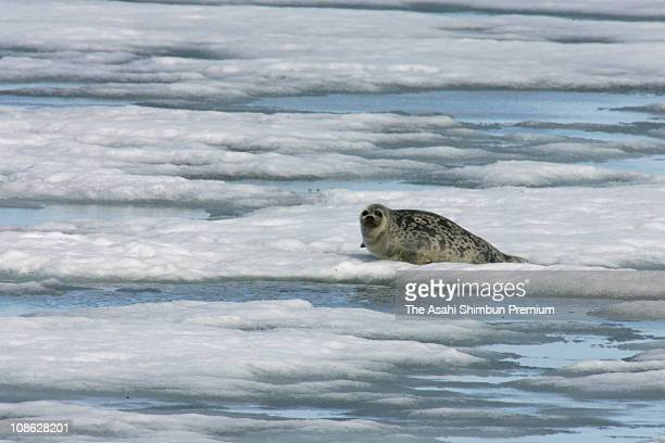 A Ringed Seal is seen on the sea ice on July 2 2006 in Nordaustlandet Svalbard Norway