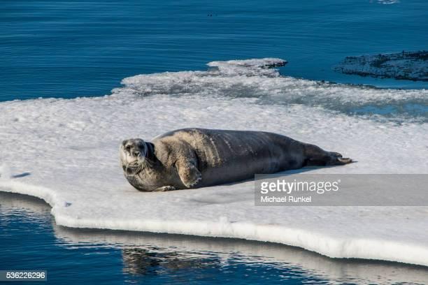 Ringed seal (Pusa hispida) lying on an ice floe, Arctic shelf, Svalbard, Arctic