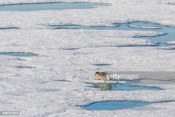 A ringed seal (Pusa hispida) near its breathing hole in Storfjorden, Svalbard, Norway, Scandinavia, Europe