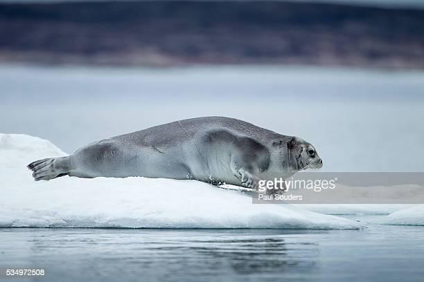 Ringed Seal on Iceberg, Nunavut, Canada