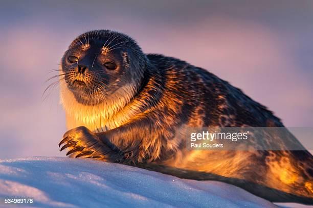 Ringed Seal Pup, Hudson Bay, Canada