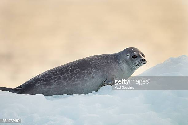 Ringed Seal Pup, Nunavut, Canada