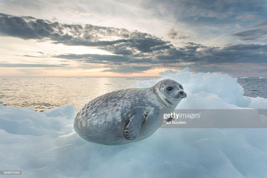 Ringed Seal Pup on Iceberg, Nunavut Territory, Canada : Stock Photo