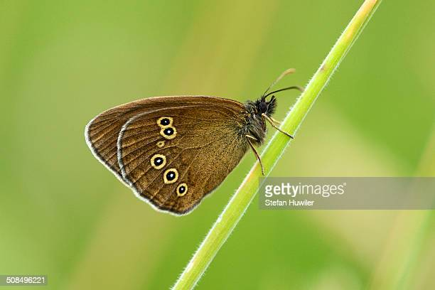 Ringlet butterfly -Aphantopus hyperantus-, underside, Zug, Switzerland, Europe