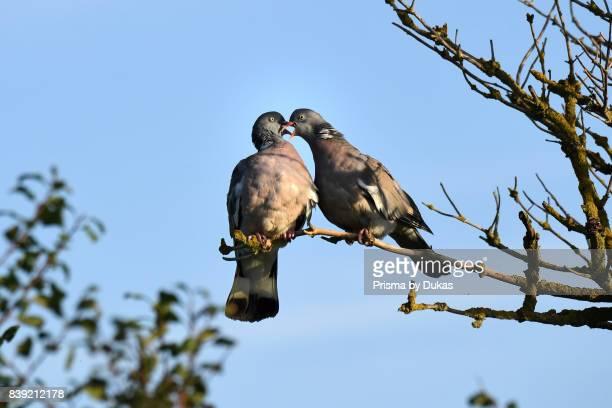 Ringlet pigeon