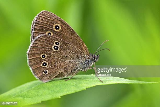 ringlet sitting on a leaf butterfly