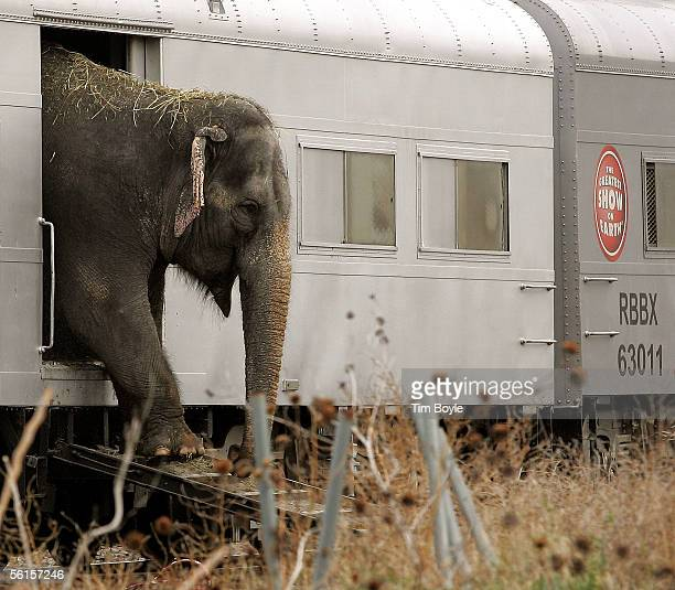 Ringling Bros. And Barnum & Bailey circus elephant exits its train car as it prepares to participate in the walk to the United Center November 14,...