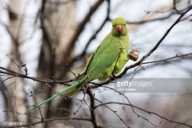 Ring-necked parakeet eats a peanut while sitting on a branch in St James's Park on March 3, 2020 in London, England.