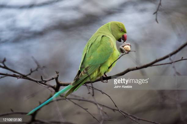Ringnecked parakeet eats a peanut while sitting on a branch in St James's Park on March 3 2020 in London England