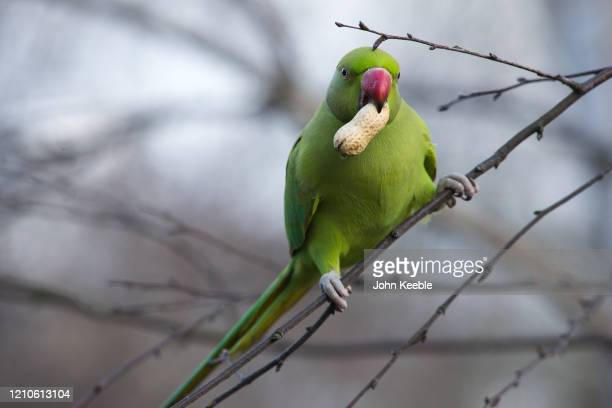 Ring-necked parakeet holding a peanut sits on a branch in St James's Park on March 3, 2020 in London, England.