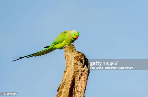 ring-necked parakeet in london - ワカケホンセイインコ ストックフォトと画像