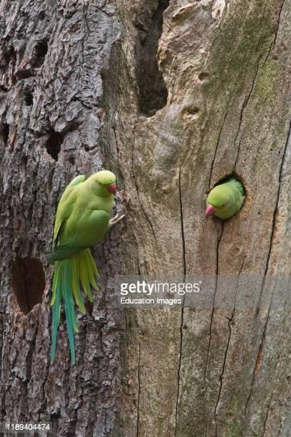 Ring-necked parakeet, psittacula krameri, Bushy Park London.