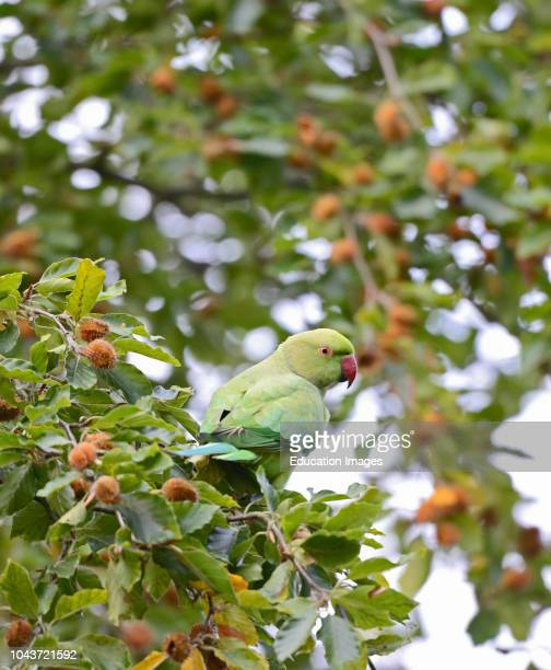 Ring-necked Parakeet, Psittacula krameri, in Richmond Park, London.