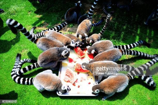 Ringrail lemurs seen having watermelons at a safari zoo on July 29 2017 in Shandong province China Feature China / Barcroft Images LondonT44 207 033...