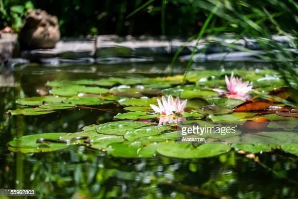 ringsnake - pianta acquatica foto e immagini stock