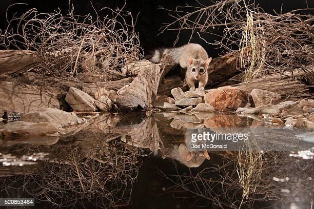 ringtail (cat) at pond at night, caught with ir trap camera, az - omnívoro fotografías e imágenes de stock