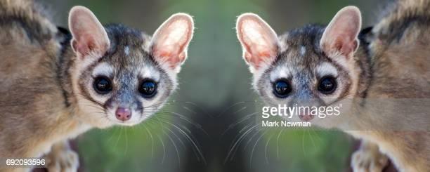ringtail cat mirror image - bassarisco foto e immagini stock