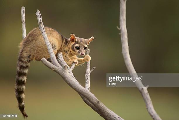 ringtail  - civet cat stock photos and pictures