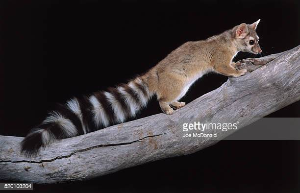 ringtail perches on a branch in arizona - civet cat stock pictures, royalty-free photos & images