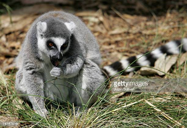 Ringtailed Lemur an endangered animal species licks its paw while on display in an exhibit at the San Francisco Zoo May 18 2007 in San Francisco...