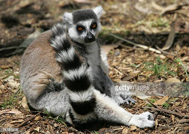 Ring-tailed Lemur, an endangered animal species, sits in an exhibit at the San Francisco Zoo May 18, 2007 in San Francisco, California. The U.S....