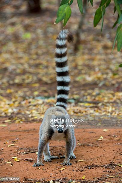 Ringtailed lemur at Berenty Reserve in southern Madagascar