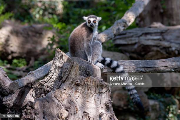 Ringtailed lemur at the Bioparco zoo on August 8 2017 in Rome Italy