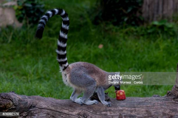 A ringtailed lemur eats frozen fruits at the Bioparco zoo to cool off in the intense heat on August 4 2017 in Rome Italy Over the last few days due...