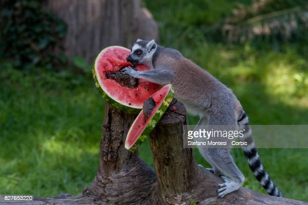 Ringtailed lemur eats frozen watermelon at the Bioparco zoo to cool off in the intense heat on August 8 2017 in Rome Italy Over the last few days due...