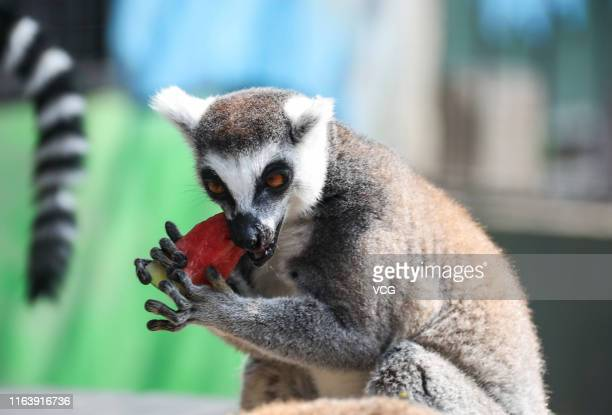 A ringtailed lemur eats watermelon at a zoo on July 23 2019 in Huaian Jiangsu Province of China Dashu is the 12th solar term of Chinese lunar...