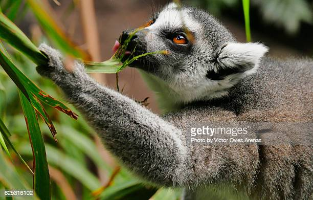 Ring-tailed lemur endemic to the island of Madagascar eating leaves on a palm tree