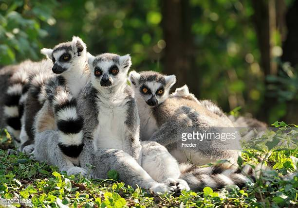 ring-tailed lemur family - lemur stock pictures, royalty-free photos & images