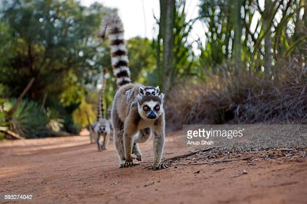 ring-tailed lemur female carrying baby on her back walking. wide angle perspective. - lemur stock pictures, royalty-free photos & images