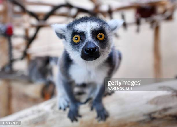 Ring-tailed lemur is pictured at the zoo in Erfurt, eastern Germany, during the annual stocktaking on January 14, 2020. / Germany OUT