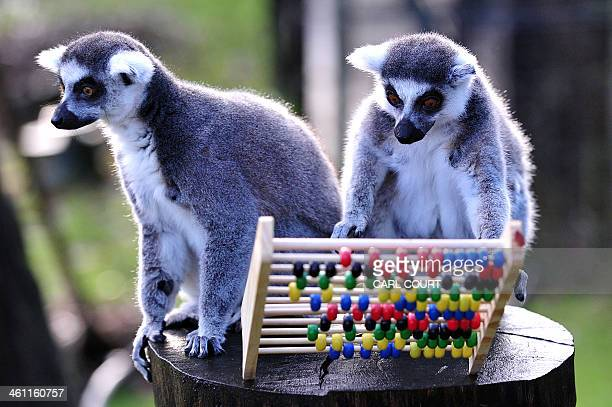 A ringtailed lemur knocks over an abacus during a photo call for Whipsnade Zoo's annual stocktake in Dunstable Bedfordshire north of London on...