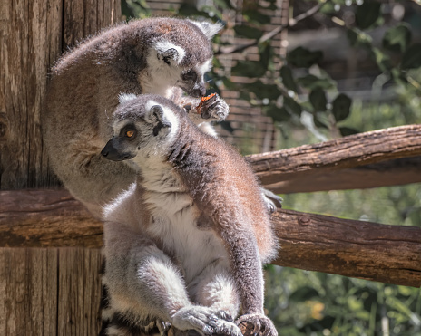 Ring-tailed lemur, Lemur catta, large primate with long, black and white ringed tail. Monkey Forest in Israel. Natural conditions for freely moving animals 1218636094