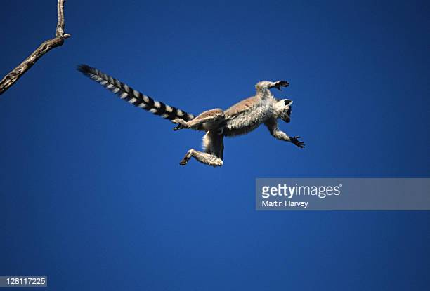 ring-tailed lemur, lemur catta. leaping between trees. southern madagascar 1/7 - lemur stock pictures, royalty-free photos & images