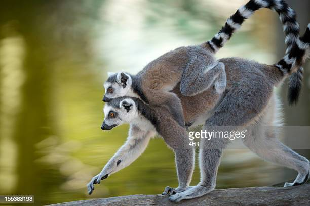 ring-tailed lemur [lemur catta] mother and baby in wildlife (xxxl) - lemur stock pictures, royalty-free photos & images