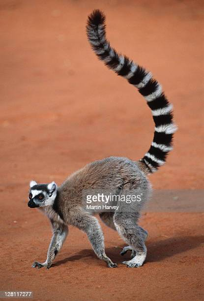 ring-tailed lemur, lemur catta. tail up. southern madagascar. - lemur stock pictures, royalty-free photos & images