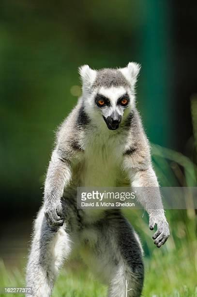 ring-tailed lemur, lemur catta, zoo, augsburg, bavaria, germany, europe - augsburg zwaben stockfoto's en -beelden