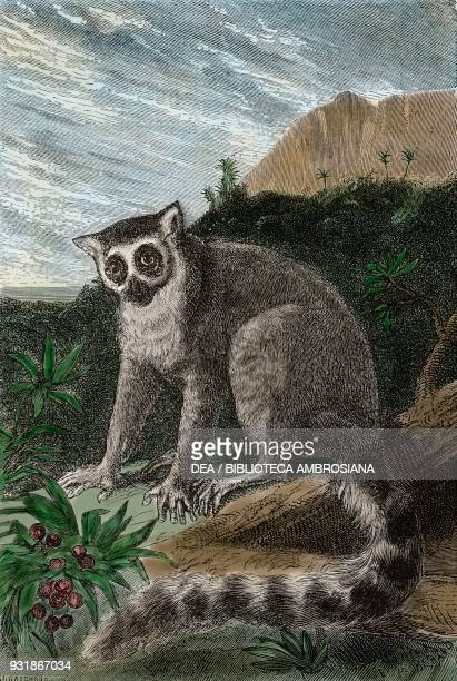 Ringtailed lemur Madagascar drawing from Travel by Ida Pfeiffer from Il Giro del mondo Journal of geography travel and costumes Volume XVII Issue 11...