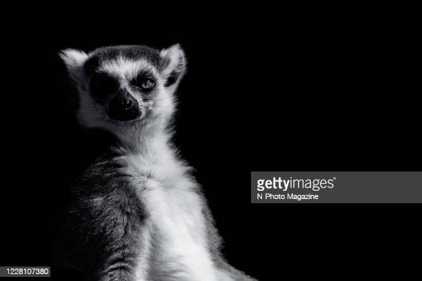 This image has been converted to black and white) A ring-tailed lemur photographed against a black background, taken on September 6, 2019.
