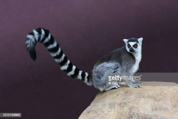 ring tailed lemur ストックフォトと画像 getty images