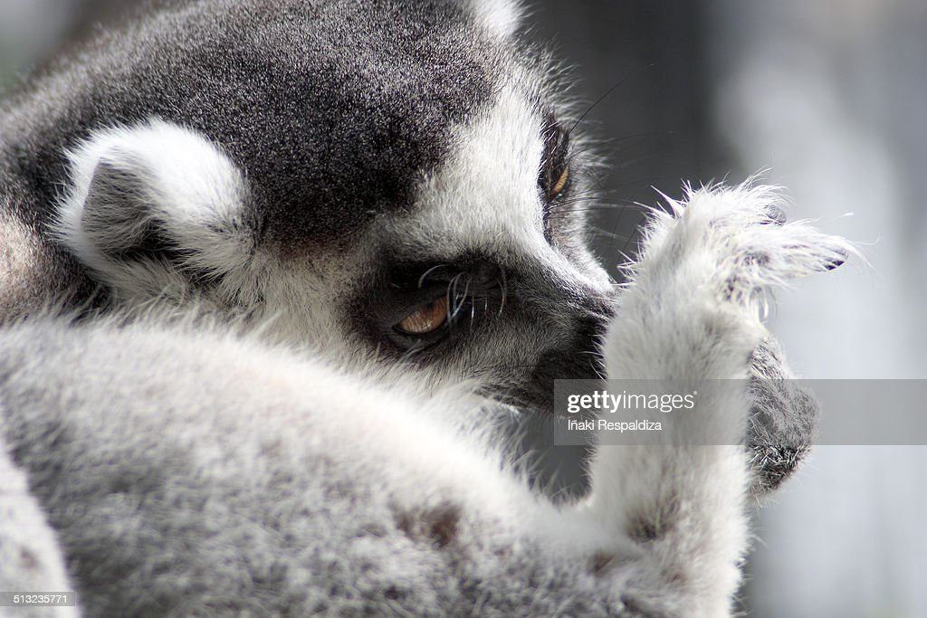 Ring-tailed lemur : Foto de stock
