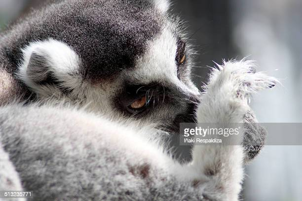 ring-tailed lemur - iñaki respaldiza stock pictures, royalty-free photos & images