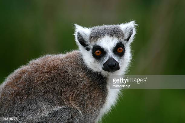ring-tailed lemur - lemur stock pictures, royalty-free photos & images