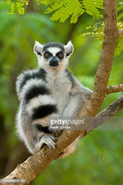 ring-tailed lemur (lemur catta) sitting in tree - lemur stock pictures, royalty-free photos & images