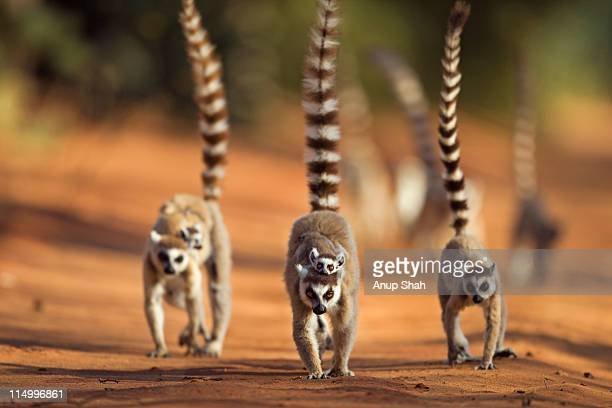 ring-tailed lemur troop on the move - lemur stock pictures, royalty-free photos & images